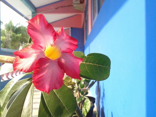 Bunga MerahJambu
