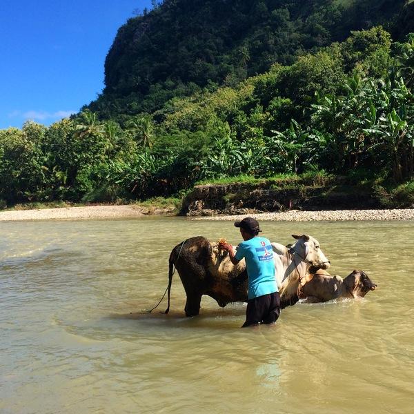 Memandikan Sapi di Sungai Oya