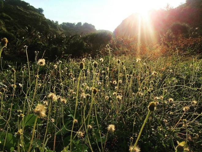 Hamparan Bunga Rumput di Pantai Kayu Arum Kanigoro Gunungkidul