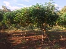 Pantai Kayu Arum : Pohon Singkong/Ketela Pohon