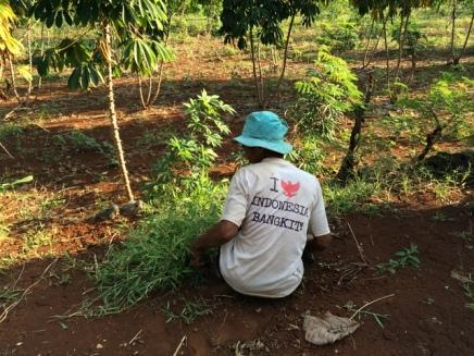 Pantai Kayu Arum : Petani sedang merumput